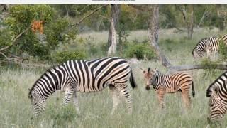 """Zebry - świat zwierząt Afryki   ,, Safari  """" 16. 01. 2018 r."""
