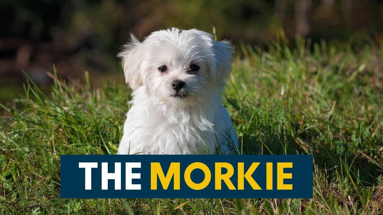 Morkie Aka The Maltese Yorkie Mix You