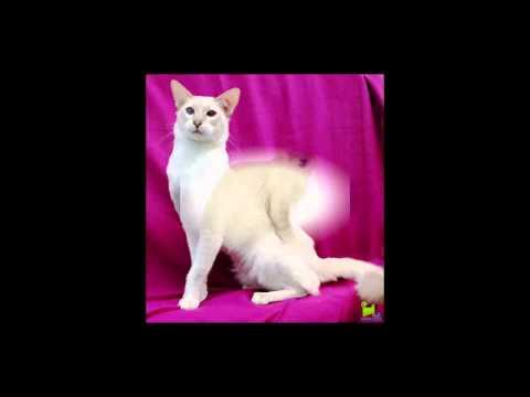 (Яванез )Яванская кошка.