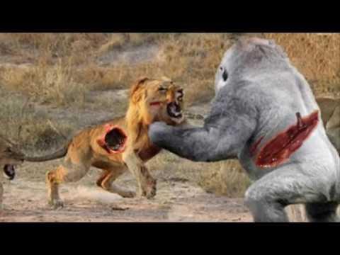 BIG BABOON vs LION Leopard Vs Gorilla Crocodile Kills ... - photo#32