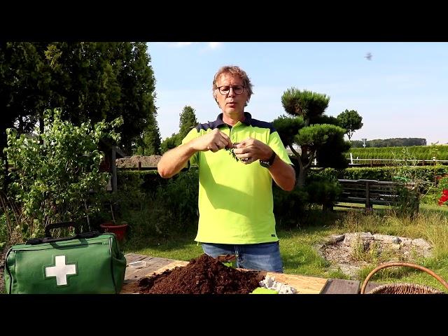 Buchsbaum vermehren und Tipps zur Pflege vom Pflanzenarzt