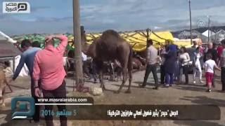 مصر العربية | الجمل