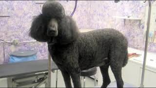 How to Care for a Standard Poodle