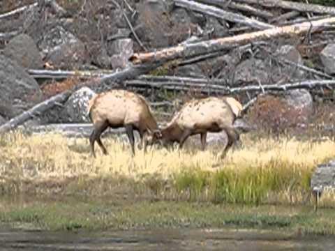 2012 Yellowstone elk