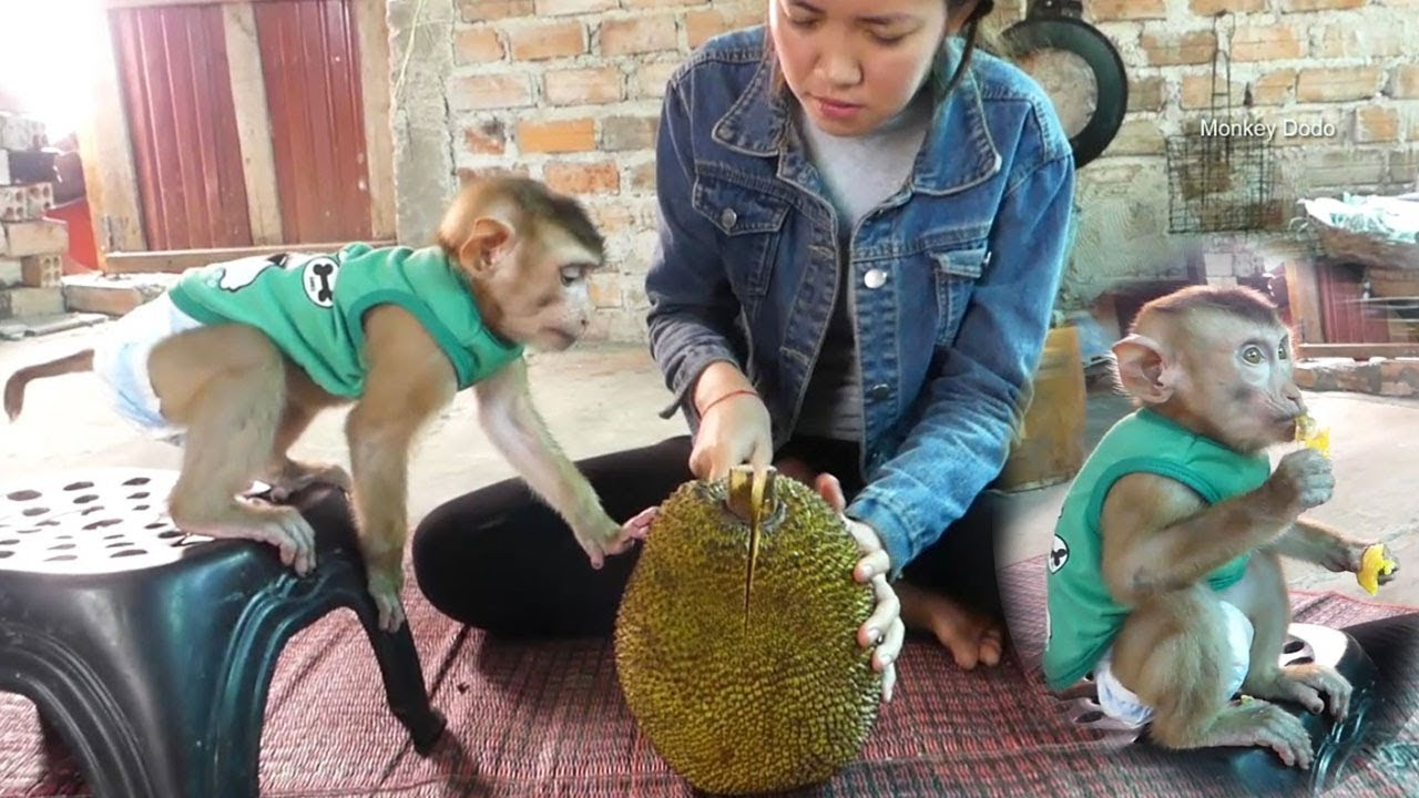 Monkey Baby, Dodo Help Mom Cutting Jackfruit, Dodo Like So Much Jackfruit
