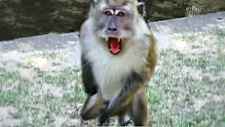 Angry Monkey Attacking