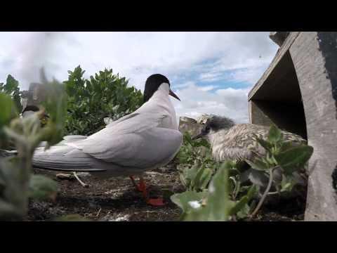 Roseate Tern chick being fed - Rockabill 2015