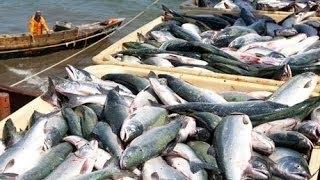 Cuộc thi đánh bắt cá hồi tại Alaska 2