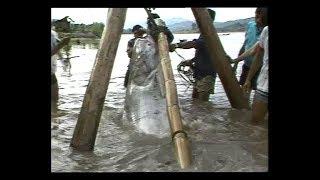 Catching The Last Giant Catfish In The World   ส่องโลก ตอน ล่าปลาบึก