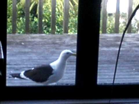George C Gull wants his dinner!