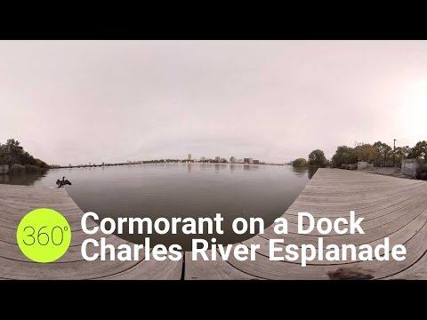 Cormorant on a dock along the Charles River Esplanade