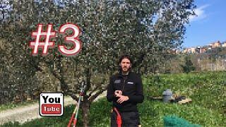 Potatura olivo 3 semplici regole #3