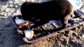 щенок ест(Сценарий ролика таков.Щенок не ест, а только пытается это делать. Он умел только сосать мамку. А здесь куски..., 2013-08-21T08:07:20.000Z)