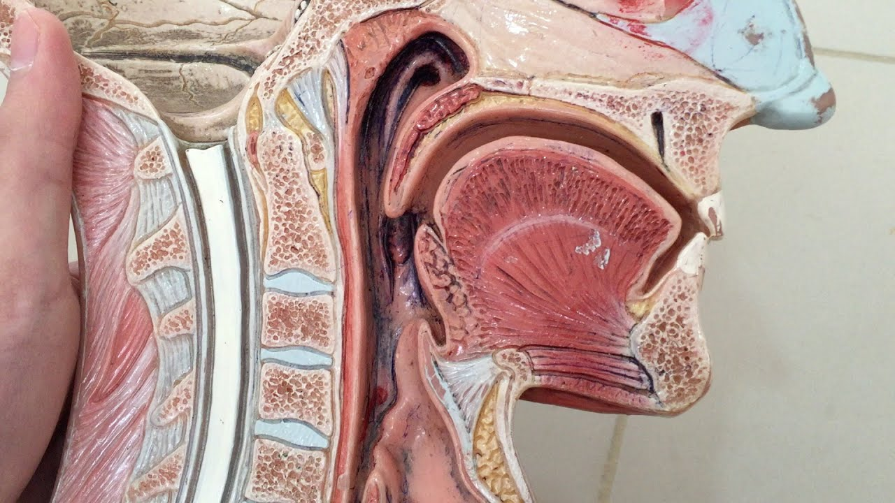 Anatomy Of The Oral Cavity Youtube
