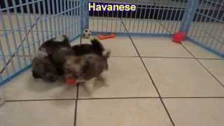 Havanese, Puppies, For, Sale, In, Birmingham, Alabama, Al, Montgomery, Tuscaloosa, Jefferson, Shelby