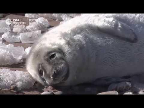 Детеныши тюленей выбрались на берег Балтики