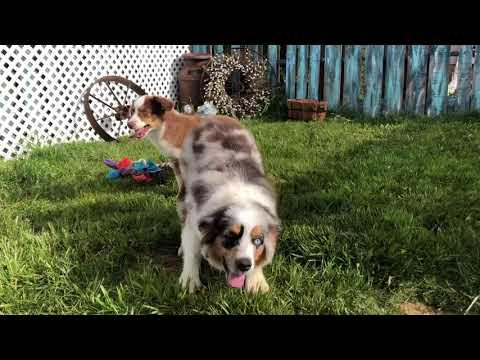 Miniature Australian Shepherd puppies| Gossip puppies| COLOR COUNTRY AUSSIES