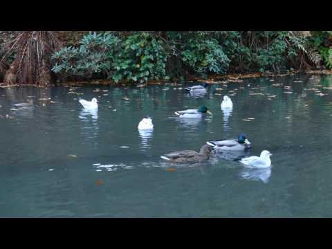 The Duck Pond at Johnston Gardens Aberdeen