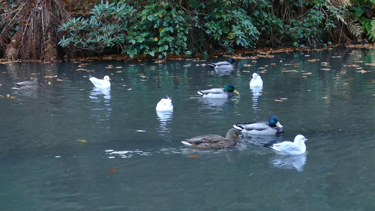 the duck pond at johnston gardens aberdeen youtube