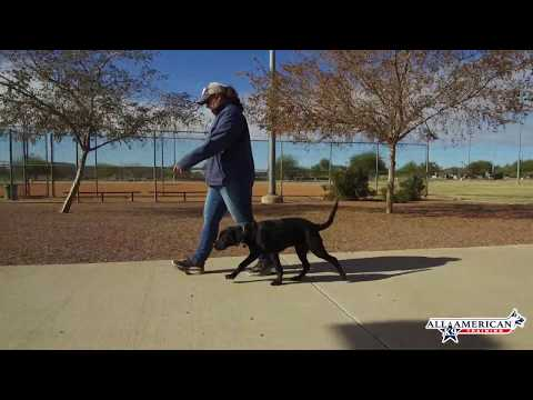 5-month-old-black-lab,-pulling,-chewing,-nipping-before-&-after-board-&-train