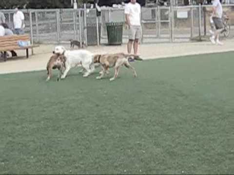 my-golden-retriever,-maji's-first-exploration-at-dog-park