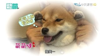 【寵物大聯萌#完整版】喵星人可愛實驗室 靈犬NANA來解惑! 2016.11.06