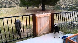 Gambar cover Javelina's acting aggressive towards my dogs.