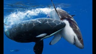 Killer Whale vs Bull Shark real Fight To Death - Wild Animals Attack