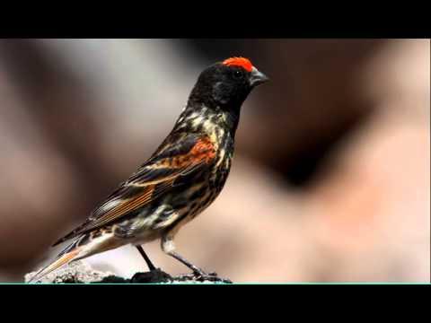 Download Lagu suara burung kenari dahi merah