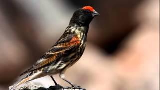 suara burung kenari dahi merah