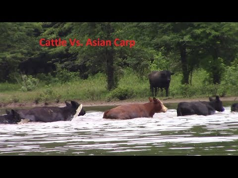 Cattle Vs. Asian Carp