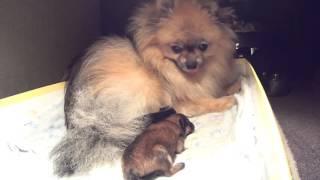 Первая бессонная ночь Бэтти после рождения щенков. Малый шпиц.