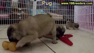 Pug, Puppies, For, Sale, In, Charleston, West Virginia, Wv, Williamson, Culloden, Kenova, Pleasant V