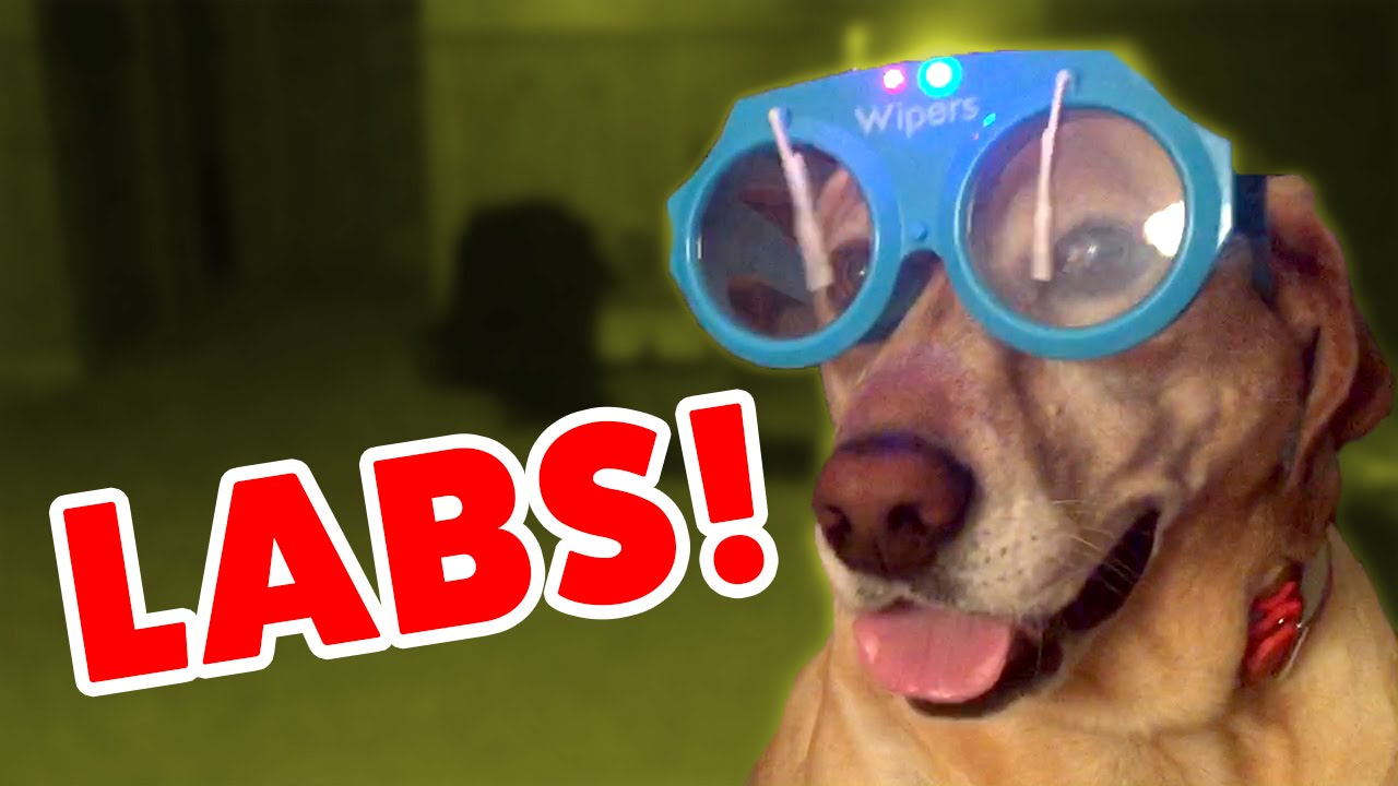 LABS IN GOOFY GOGGLES & MORE Labrador Videos of 2016 Weekly Compilation | Funny Pet Videos