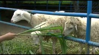Goat farm near me | Goat farming profit