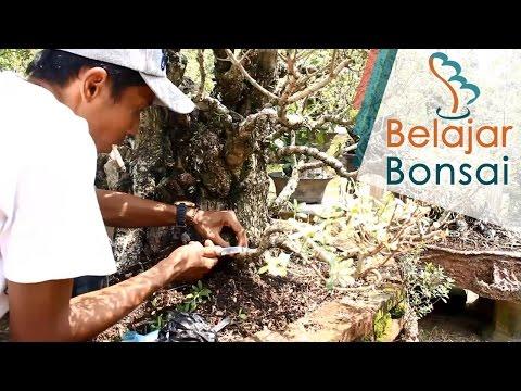Cara Cangkok Bahan Bonsai Santigi (Pemphis Acidula)