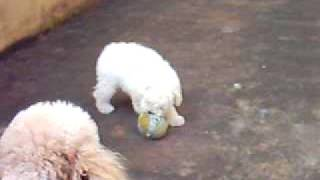 Poodle Micro Toy Canil Fofofdog