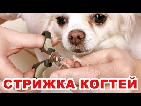 Как подстричь когти собаке в домашних условиях чихуахуа
