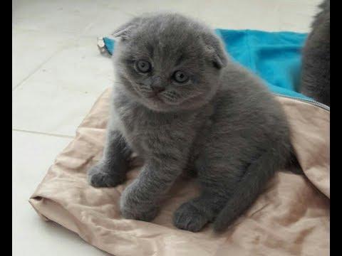 My pretty kitty yavru scottish fold İskoç kedisi çocuk videoları kedi videoları