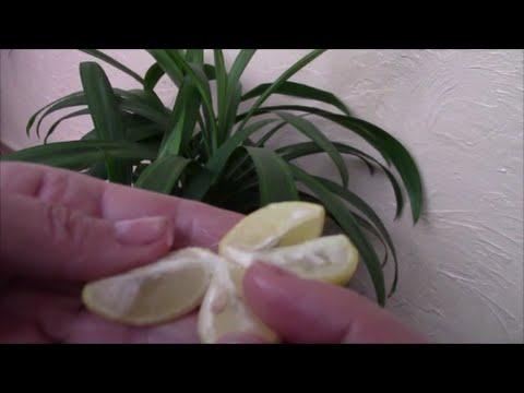 Лимонное деревце из косточки.  Как начать выращивать?!  Мой опыт!