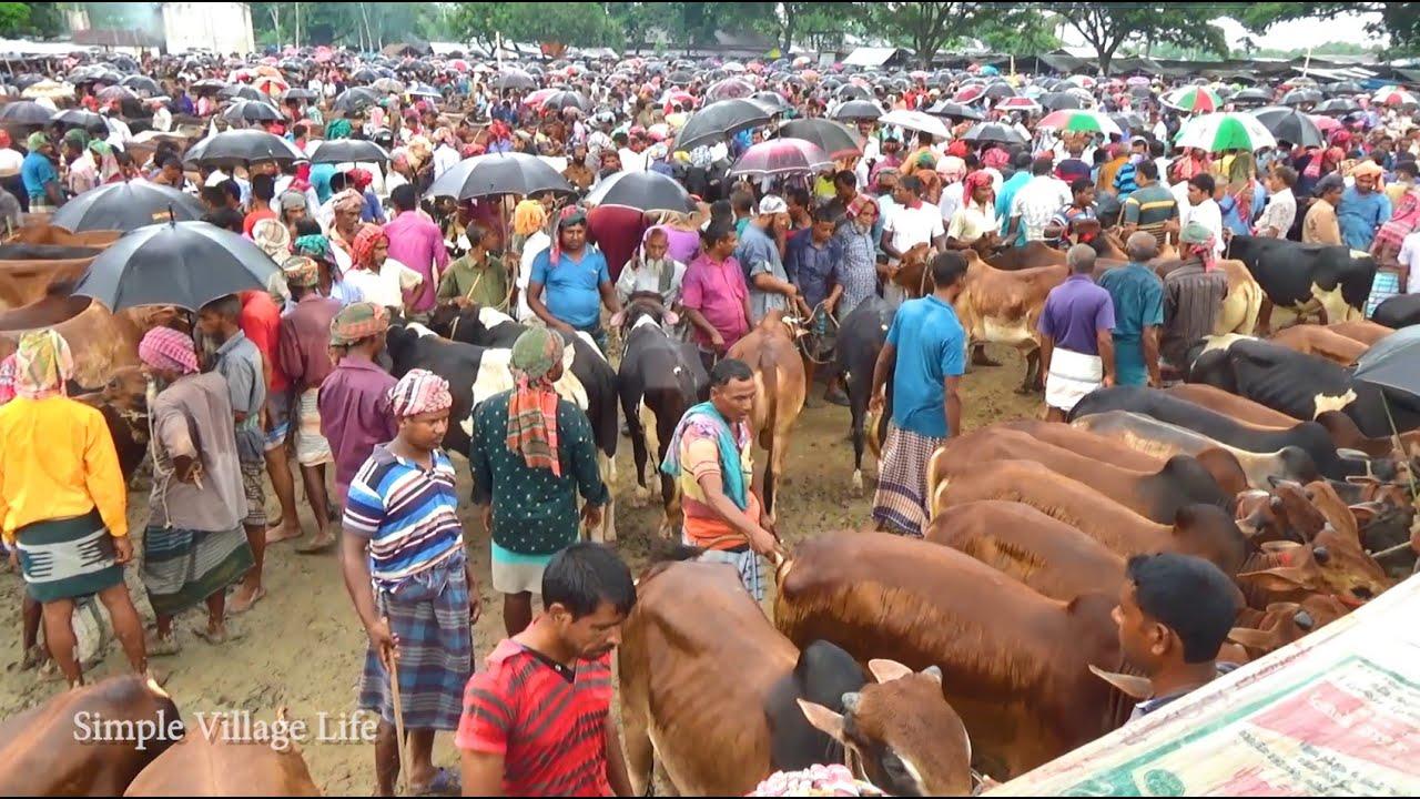 915| কম দামে উন্নত জাতের ষাঁড় ক্রয় করুন | চৌবাড়িয়া পশুর হাট | Best Cows Market price -21 August 2020