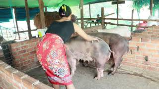 Wow.. Visit The Lady Teach Her Pig To Crossing/How Pig Breeding | Pig Meeting # Animal Channel KH