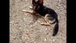 The Canine Classroom Dog Training - Desensitising Bohdi To The Boss, 09.11.12