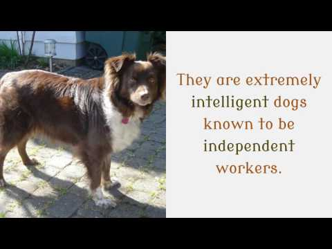 11 Interesting Things You Should Know About English Shepherd