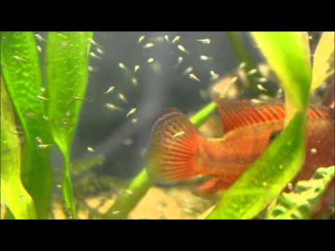 Feeding Jewel Cichlid Fry