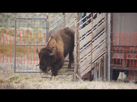 Bisonte americano: Reintroducción exitosa en Coahuila