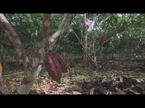 "A Colombian farmer moves from ""coca"" to ""cocoa"" crops"