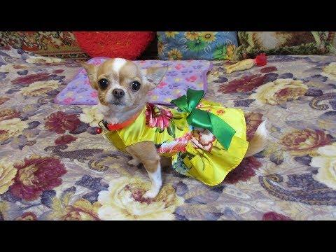 Щенок чихуахуа 3 день в домеиз YouTube · С высокой четкостью · Длительность: 3 мин50 с  · Просмотров: 574 · отправлено: 26.02.2016 · кем отправлено: Lera and Delya