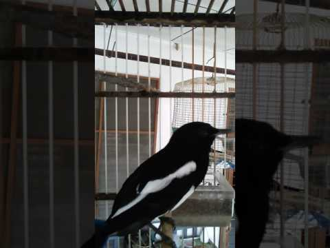 suara burung murai cacing jantan
