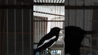 Download Lagu suara burung murai cacing jantan mp3